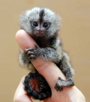 <a></a>Pygmy marmoset: <br>One of the world&acute;s smallest monkey breeds
