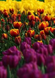Tulip flowers blossom at botanical garden, Hefei