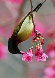 Early Bird Gets the Cherry Blossom, Fuzhou