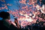 <font color=#d73660>日本樱花花期预测</font>