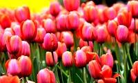清明成都赏花去 色彩缤纷的春日盛宴