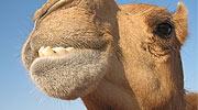神秘的骆驼