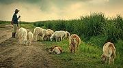 即将消失的牧羊人
