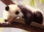 大熊猫回家路