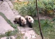 Espectáculo:  Miaomiao y Chengdui compiten para ganar carrera