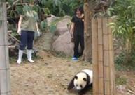 Espectáculo: Xiaotuanzi juega con  criadores de  pandas gigantes