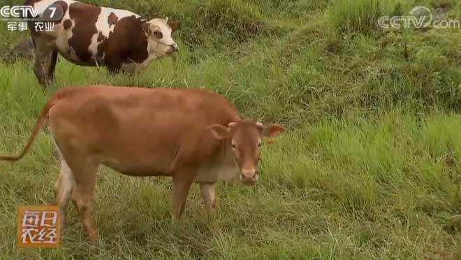 [每日农经]养这样的牛赚钱多 20190307