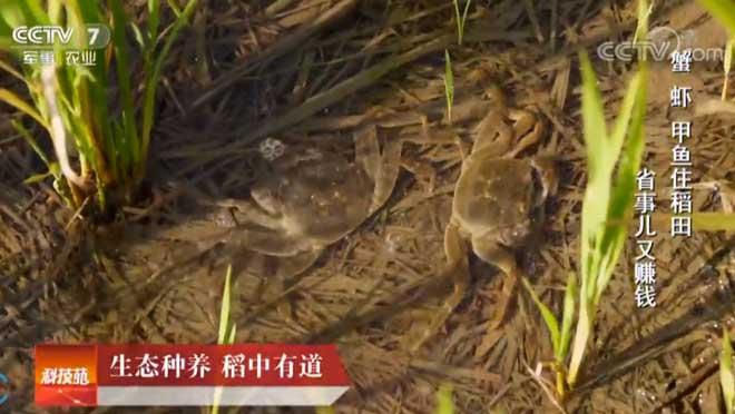 [科技苑]生态种养 稻中有道 20190401