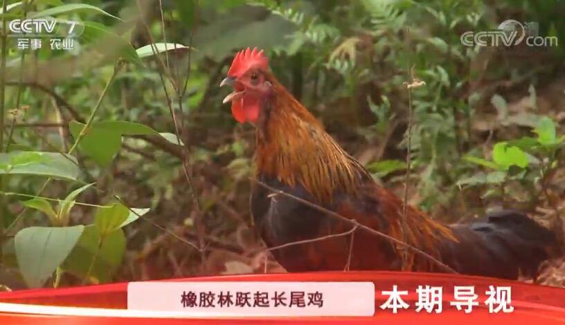 """[科技苑]橡胶林里跑""""飞鸡"""" 20190529"""