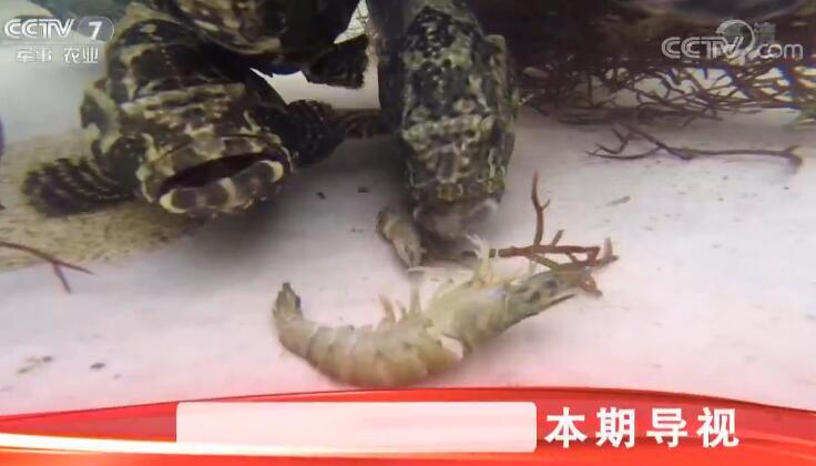 [科技苑]鱼清洁 虾治病 珍珠池里有秘密 20190620
