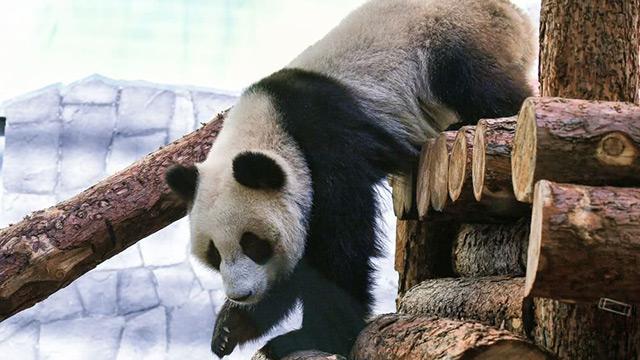 俄动物园下月起将提供旅俄大熊猫24小时直播