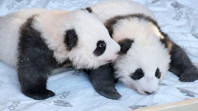 """德國大熊貓雙胞胎取名""""夢想""""""""夢圓"""""""
