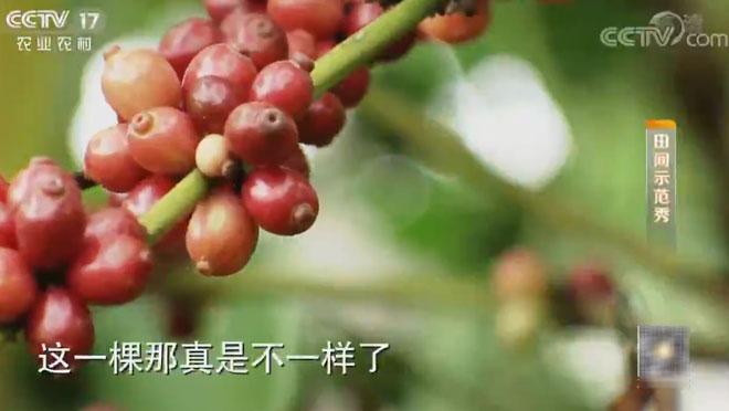 《田间示范秀》 20200106 红起来的咖啡果