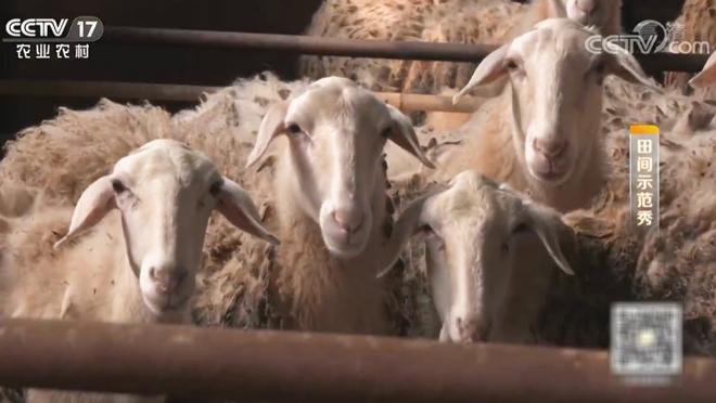 《田间示范秀》 20200119 养好湖羊卖好价