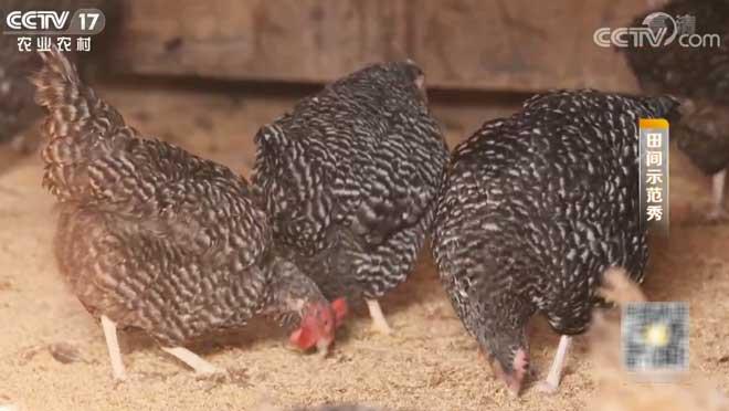 《田间示范秀》 20200120 散养健康鸡 冬季好产蛋