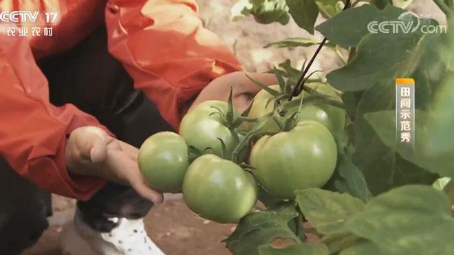 《田间示范秀》 20200208 西红柿细中出精品