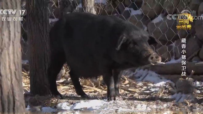 《田间示范秀》 20200520 藏香小猪保卫战