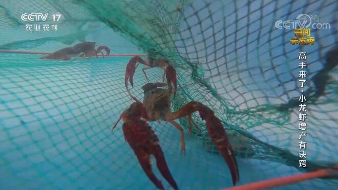 《田间示范秀》 20201009 高手来了·小龙虾增产有诀窍