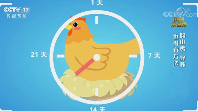 《田间示范秀》 20201016 鹊山鸡 野养也得有方法