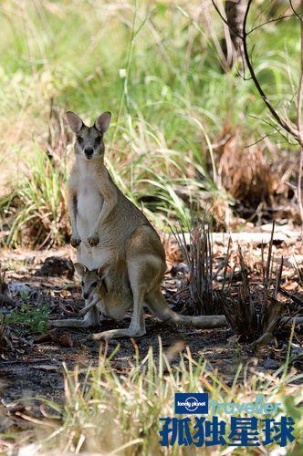 沙袋鼠和沙袋鼠宝宝,小沙袋鼠发现危险了会立即爬进育儿袋中