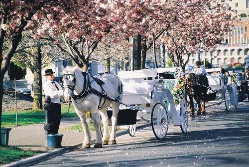 新浪旅游配图:维多利亚樱花盛开 来源:维多利亚旅游局