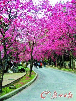九族文化村是台湾樱花密度最高之地