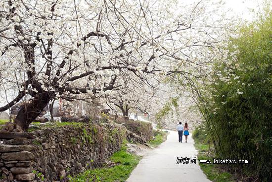 樱桃花枝遮护下的林荫道 作者:泡鱼儿