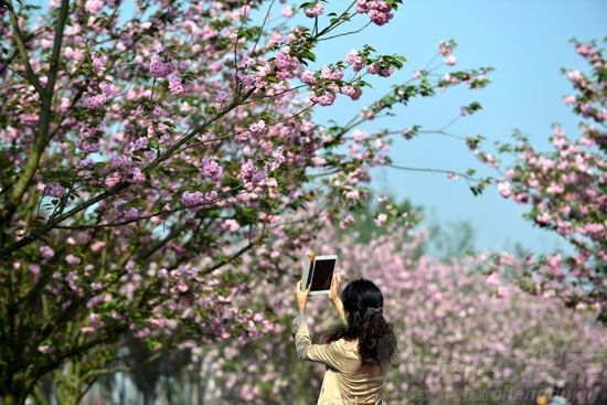 青白江樱花节 18万市民与樱花相约周末