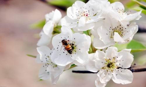 2013安徽砀山梨花节,安徽砀山梨花节时间,春季旅游,春季旅游线路