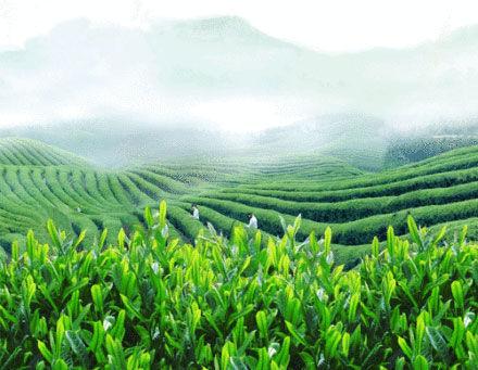 满山的茶树