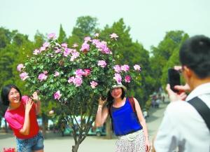 """日前,天坛公园举办""""五月繁花""""月季展,展出了上百个品种近2万余株月季花,尤其是3000余株大棵盆栽月季以其硕大的花形、艳丽的花色吸引了众多游客。本报记者 吴镝摄"""