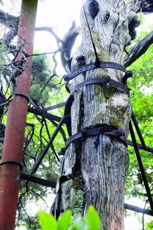 树身蛀空了,中间浇筑的是混凝土