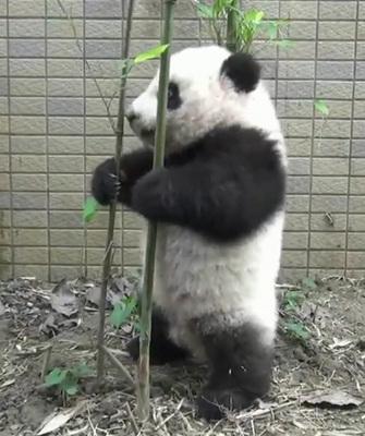 壁纸 大熊猫 动物 335_400