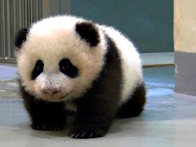 焦点的赠台大熊猫猫圆圆的宝宝圆仔已经4个月大了