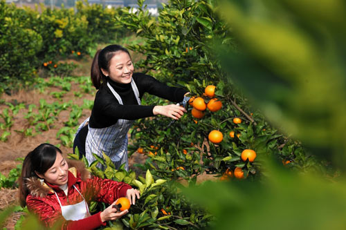 果园里农家姑娘正忙着采摘橙子