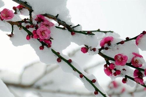 勤劳勇敢的华夏民族正如寒冬绽放的雪梅,独具百折不挠,奋勇当先