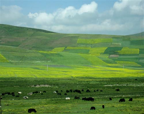 牛羊悠然自得地吃草
