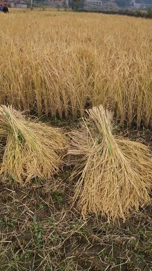 稻成熟的季节,这是农民的果实,也是劳动的果实