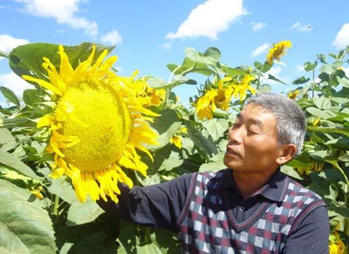 农民伯伯看见盛开的食葵心里美滋滋的