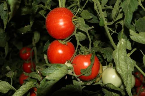 兵团一八六团大棚里的西红柿红艳艳