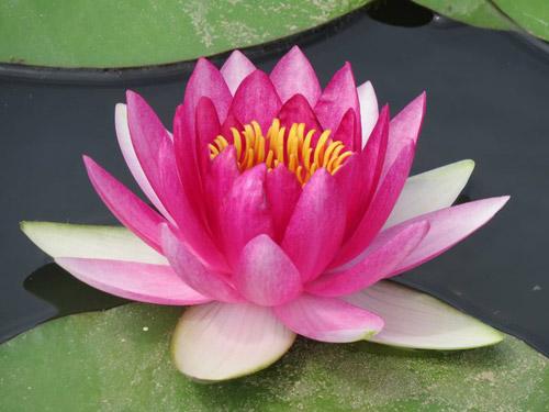 纯洁、无邪、清正的美丽莲花