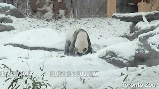Cameras at Toronto Zoo catch giant panda Da Mao frolicking in the snow in his enclosure.
