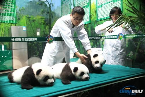 Архив: панды-тройняшки