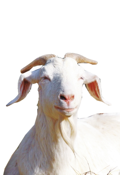 """1、这种羊为本土山羊,以产奶为主,产奶量高。具有""""头长、颈长、体长、腿长""""的特征,俗称""""四长羊""""。"""