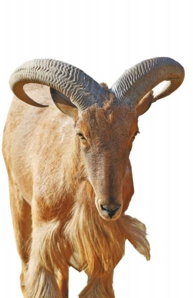 4、这种羊是非洲仅有的一种野羊,分布在北非摩洛哥至埃及、大西洋海岸到红海。