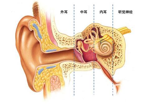 动物的耳朵作用