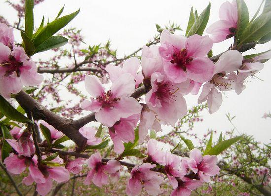 桃,蔷薇科、桃属植物。落叶小乔木;花单生,从淡至深粉红或红色,有时为白色,有短柄,直径4厘米,早春开花;桃有多种品种,碧桃的花,花重瓣,淡红色;绯桃的花,花重瓣,鲜红色;红花碧桃的花,花半重瓣,红色;绛桃的花,花半重瓣,深红色;单瓣白桃的花,花单瓣,白色;紫叶桃花为叶紫色等。    桃花花语:爱情的俘虏   在中国,桃花一直以来都离不开爱情两个字,人们常说桃花运,就是因为桃花能给人带来爱情的机遇,有了桃花的祝福,相信你会很快拥有你自己的爱情,所以,它的花语是爱情的俘虏。桃花运就是这么来的吧!