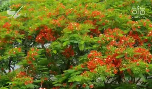 凤凰花   我现在所在的位置是安平路与槟榔路的交叉