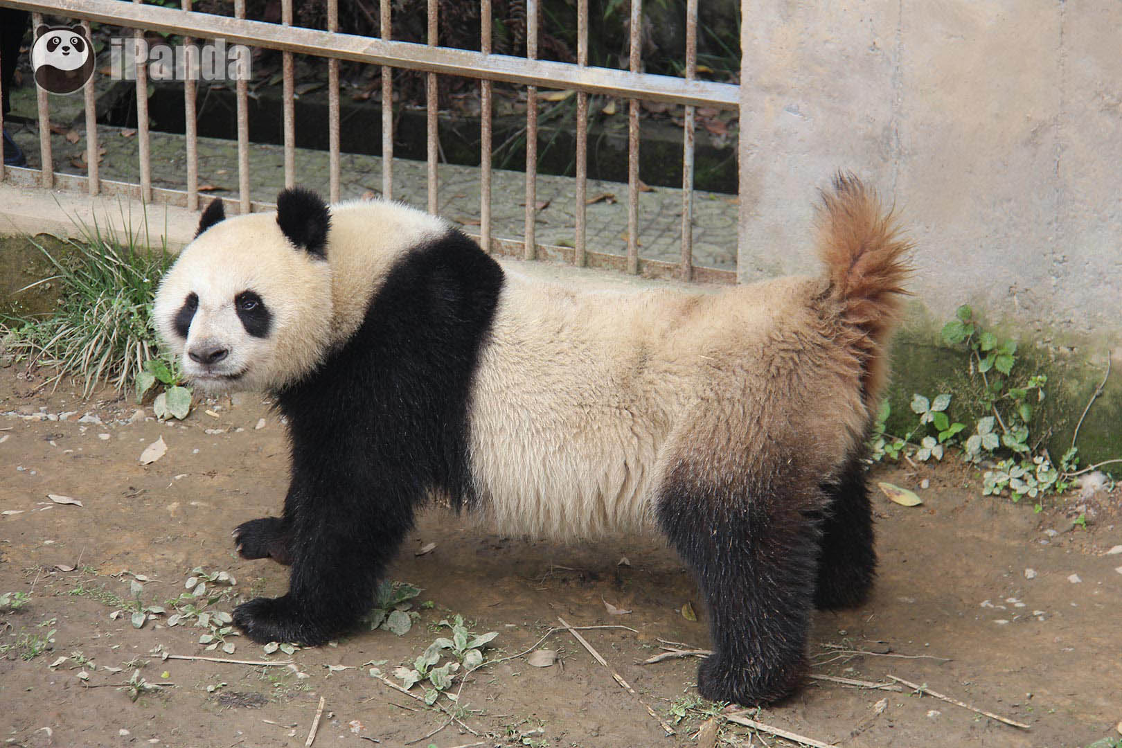 """雌性大熊猫""""林冰""""举尾表示出交配意愿 每年的3至5月是大熊猫的交配季,也是大熊猫繁育工作的重要时间段,在此次播出之后,近日熊猫频道还将播出其他大熊猫的交配实况(节目地址:http://live.ipanda.com/event/jiaopei2015/),进一步向网友揭开神秘大熊猫交配繁殖的奥秘。"""
