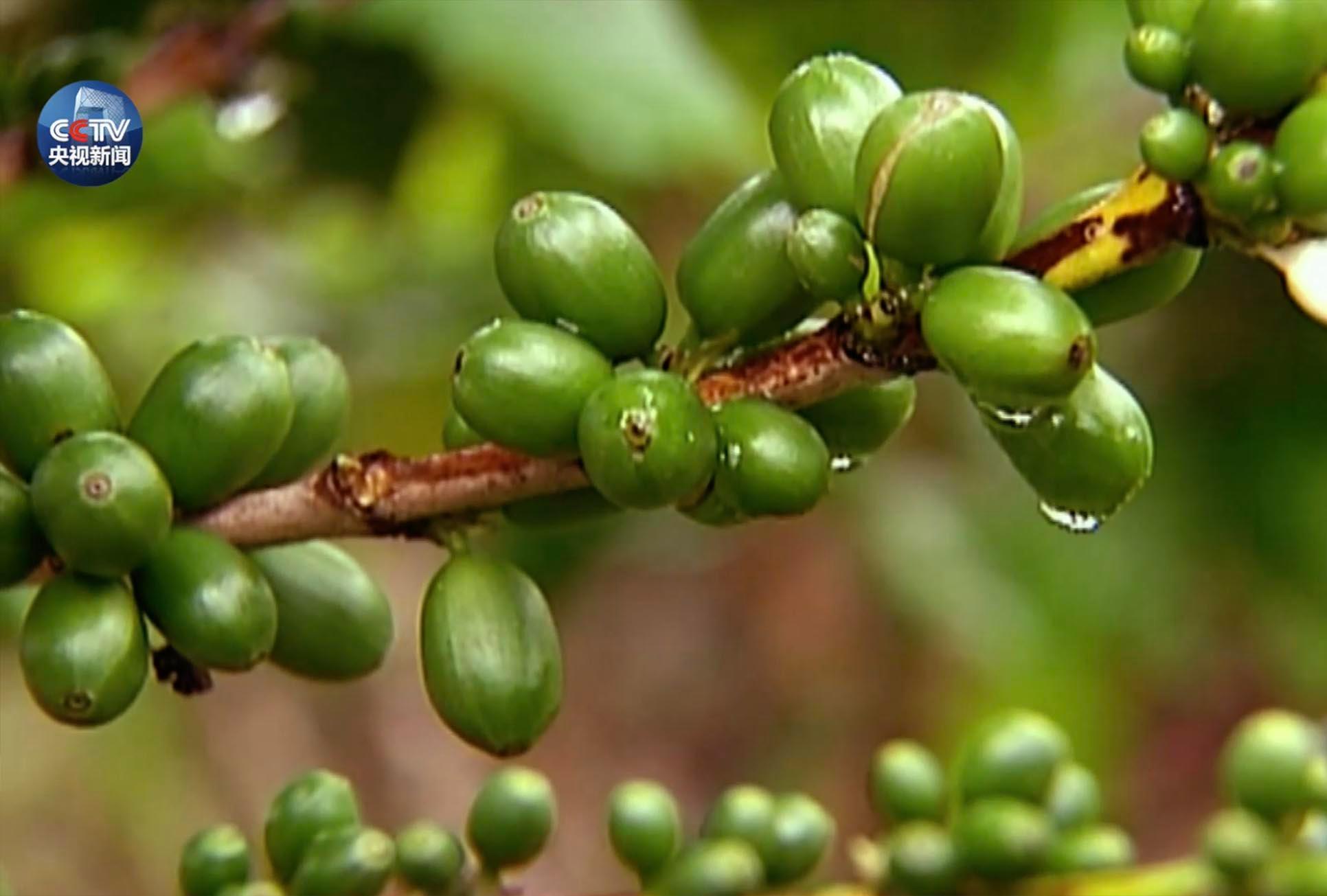 哥斯达黎加咖啡种植园种植的咖啡豆